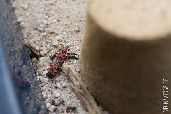 KInder Natur - Insekten entdecken - Käfer und Feuerwanzen züchten - Feuerwanze Paarung