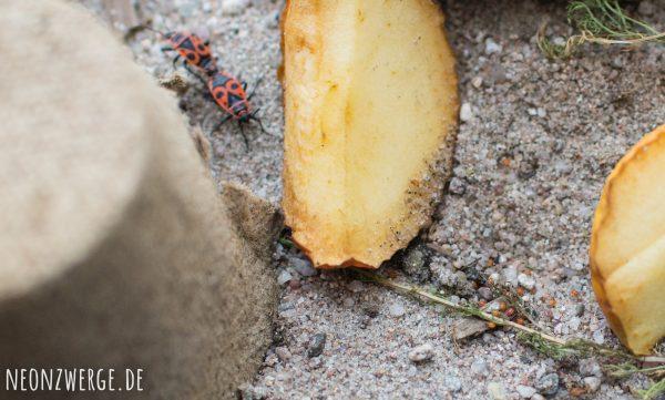 KInder Natur - Insekten entdecken - Käfer und Feuerwanzen züchten - Paarung Nachwuchs Feuerwanze