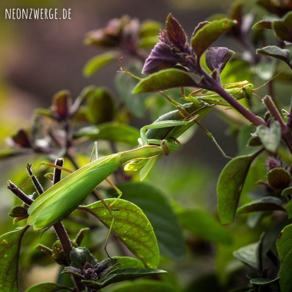 Fangschrecke, Gottesanbeterin, Heimisch in Deutschland, Mantis Religiosa